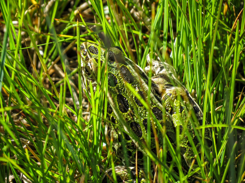 Northern Leopard Frog, School Sections, Medina ND.