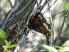Mourning Cloak, Chase Lake NWR, ND