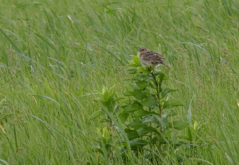Grasshopper Sparrow, Chase Lake NWR, ND