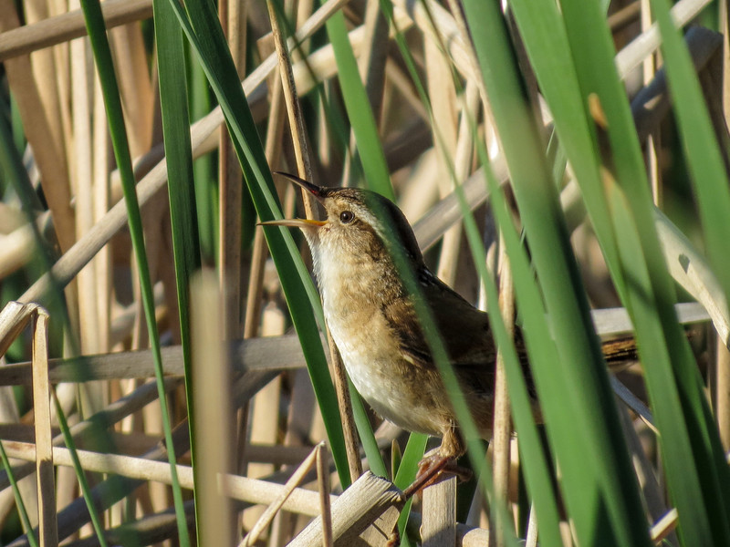 Marsh Wren, Chase Lake NWR, ND