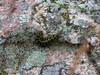 Painted Lichen Moth Catipillar, School Section, Medina ND
