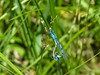 Prairie? Bluet, Chase Lake NWR, ND
