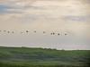 White Pelicans, Arrowwood NWR, ND