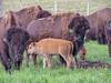 American Buffalo, Arrowwood NWR, ND