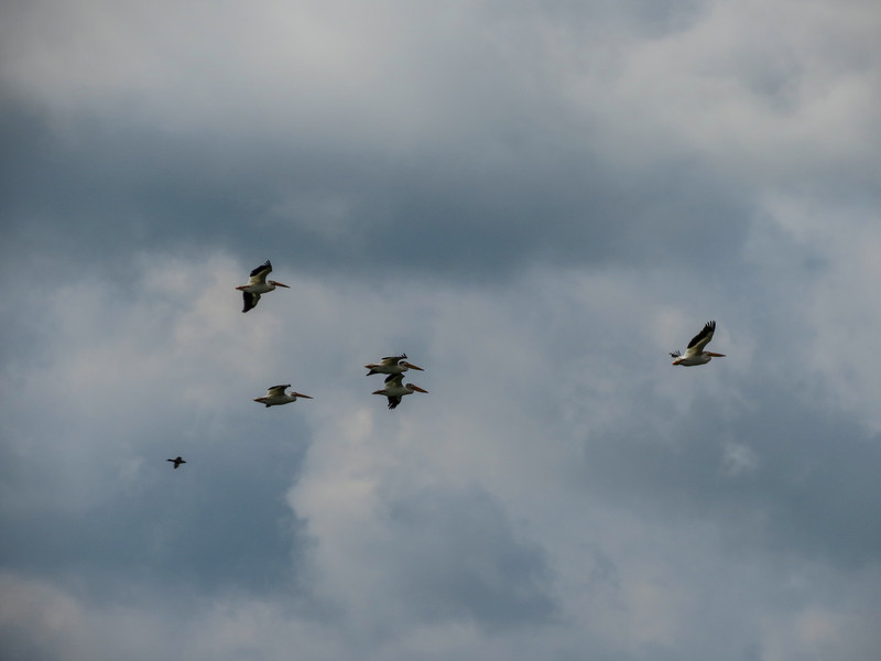 White Pelicans, School Sections, Medina ND