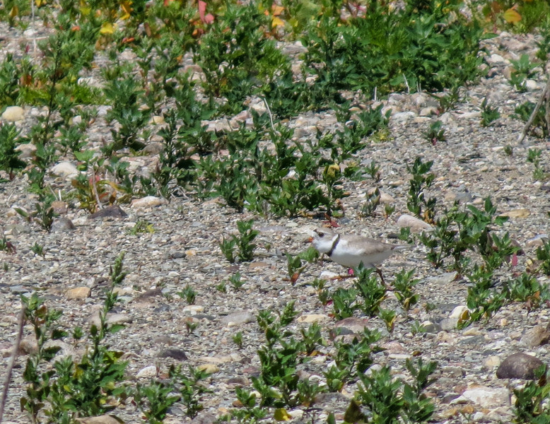 Piping Plover, Arrowwood NWR, ND