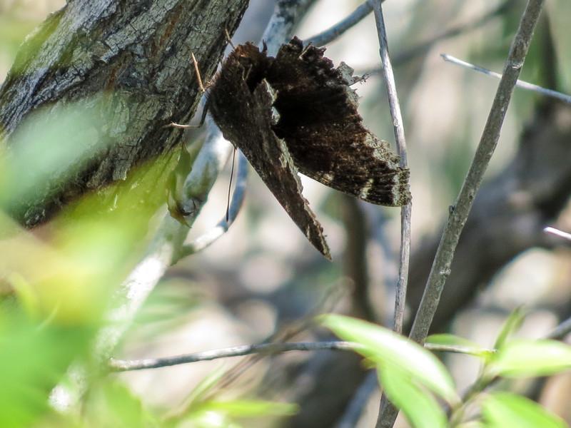 Mourning Cloak, Chase Lake NWR, ND