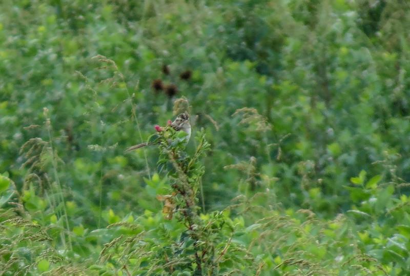 Clay-colored Sparrow, Arrowwood NWR, ND
