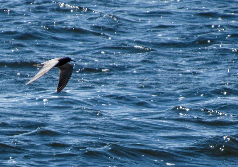 Black Tern, Chase Lake NWR, ND