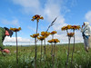 Blanket Flower, School Section, Medina ND