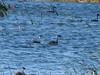 Western Grebes, Chase Lake NWR, ND