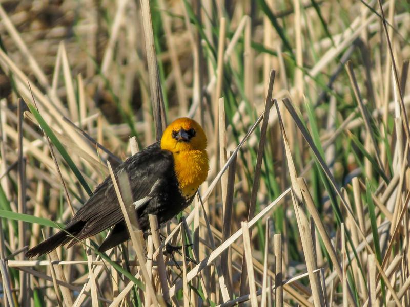 Yellow-headed Warbler, Chase Lake NWR, ND