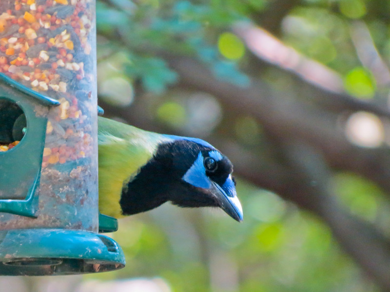 Green Jay, Sabal Palm Santuary, Brownsville TX