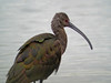 White-faced Ibis, Estero Llano Grande World Birding Center, Weslaco, TX
