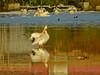 White Pelecan, Edenboro Wetlands WBC, Edenboro TX