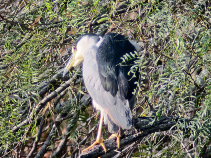 Black-crowned Night Heron, Edenboro Wetlands WBC, Edenboro TX