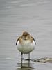Spotted Sandpiper, Estero Llano Grande World Birding Center, Weslaco, TX