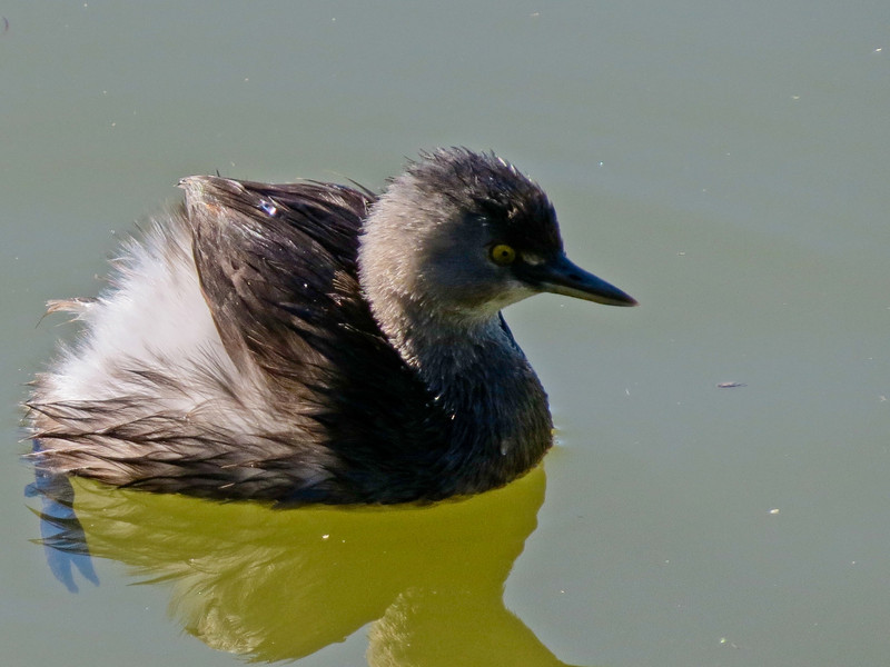 Least Grebe, Sabal Palm Santurary, Brownsville TX