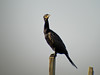 Neo-tropic Cormorant, Edenboro Wetlands WBC, Edenboro TX