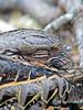 Common Paraque, Estero Llano Grande World Birding Center, Weslaco, TX