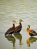 Black-bellied Whistling Ducks, Edenboro Wetlands WBC, Edenboro TX