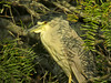 Black-crowned Night Heron, Edenboro Wetlands WBC, Edenboro TX