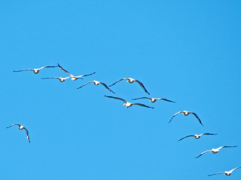 White Pelicans, Santa Anna NWR, Alamo TX