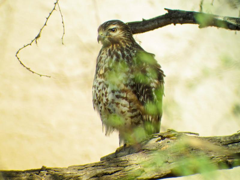 Im. Red-sholdered Hawk, Santa Anna NWR, Alamo TX