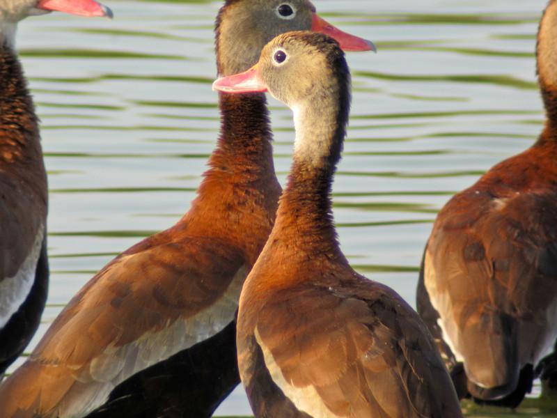 Black-bellied Whistling Ducks, Edenboro Wetlands WBC, Edenboro TX