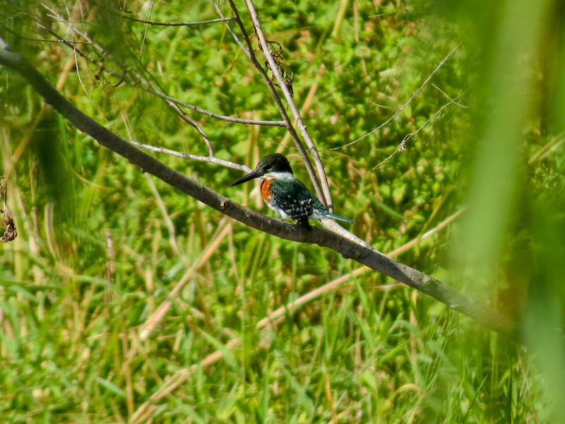 Green Kingfisher, Sabal Palms Santuraty, Brownsville TX