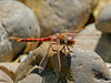Varigated Meadowhawk, Sabal Palm Santurary, Brownsville TX