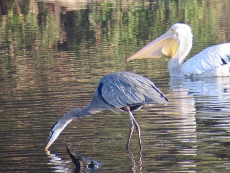 Great Blue Heron, Edenboro Wetlands WBC, Edenboro TX