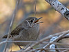 House Wren, Edenboro Wetlands WBC, Edenboro Tx