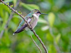 Ruby-throated Hummingbird, Estero Llano Grande World Birding Center, Weslaco, TX
