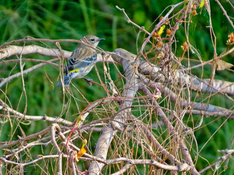 Yellow-rumped Warbler, Edenboro Wetlands WBC, Edenboro TX
