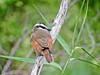 Great Kiskadee, Estero Llano Grande World Birding Center, Weslaco, TX
