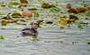 Least Grebe, Estero Llano Grande World Birding Center, Weslaco, TX