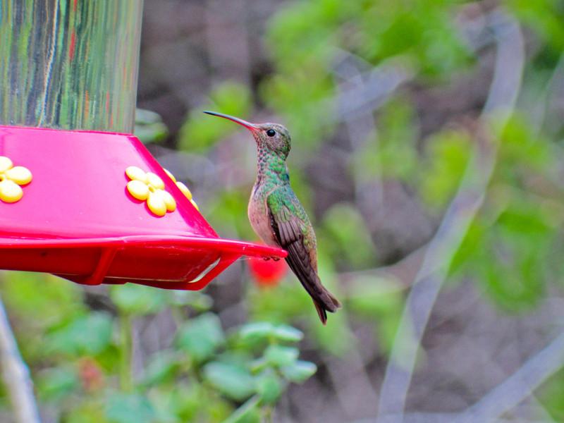 Buff-bellied Hummingbird, Estero Llano Grande World Birding Center, Weslaco, TX