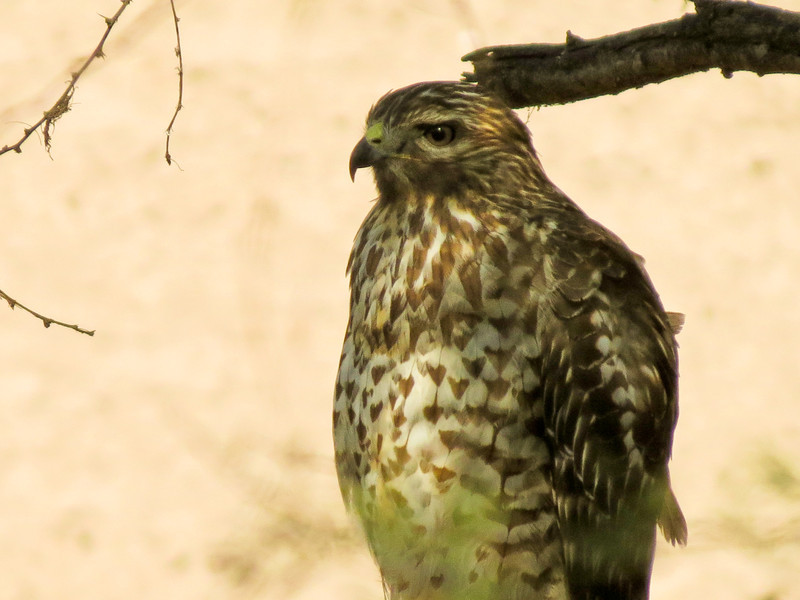 Im. Red-sholdered Hawk, Santa Anna NWR, Alamo TX