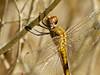Wandering Glider, Arroyo Colorado World Birding Center, Harlingen TX