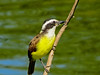 Great Kiskadee, Sabal Palm Santuary, Brownsville TX