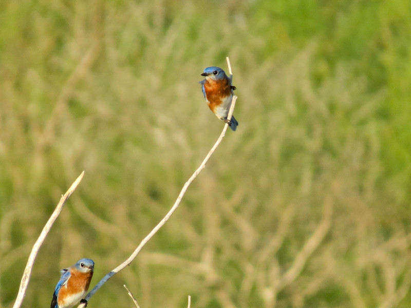 Eastern Bluebird, Santa Anna NWR, Alamo Tx