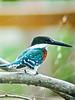 Green Kingfisher, Edenboro Wetlands WBC, Edenboro TX