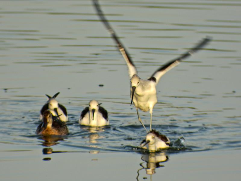 American Avocet, Edenboro Wetlands WBC, Edenboro TX