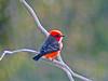 Vermillion Flycatcher, Santa Anna NWR, Alamo TX