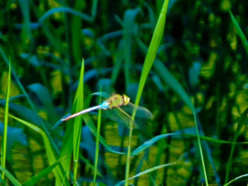 Green Dasher, Sabal Palm Santuary, Brownsville TX