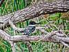 Green Kingfisher, Estero Llano Grande World Birding Center, Weslaco, TX