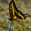 Giant Swallowtail 2
