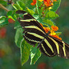 Zebra Haliconian