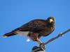 Harris Hawk, Old Port Isabella Rd, TX